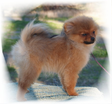 Caring for your Pomeranian's coat. | Pomeranian Dog Expert Information ...