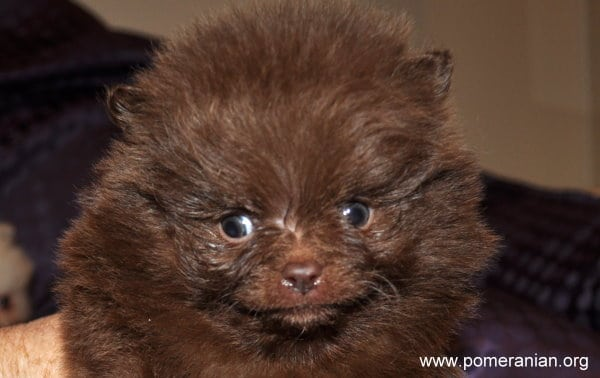 Chocolate Pomeranian Puppy