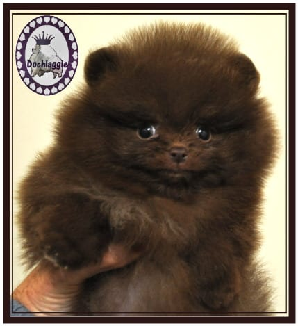 Chocolate brown Pomeranian Pup