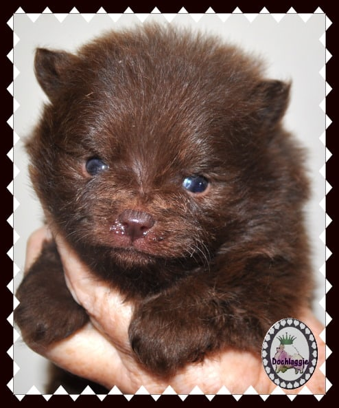 Brown Pomeranian Puppy