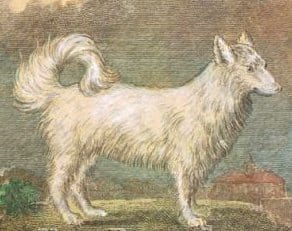 early pomeranian dog