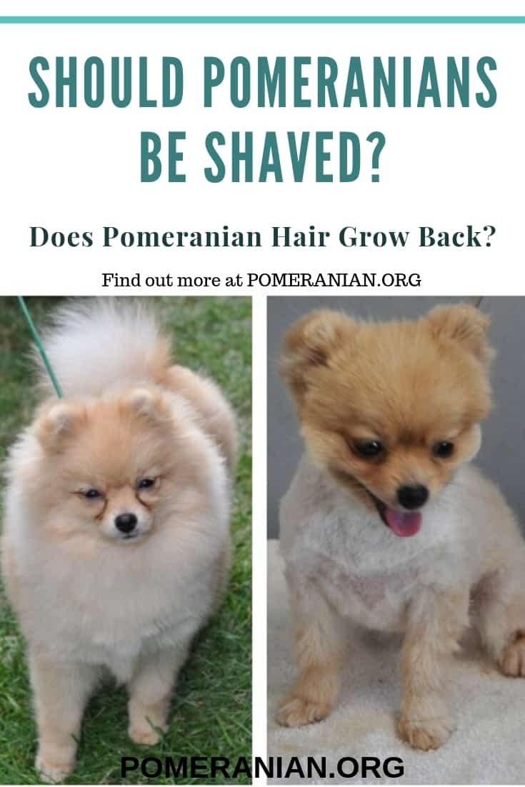 Should Pomeranians be shaved