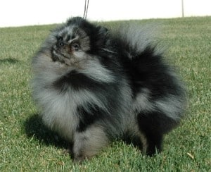 Blue Merle Pomeranian ( photo courtesy of Thanks to Alane Levinsohn)