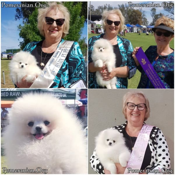 Pomeranian Puppy is now a consistent winner at Dog Shows