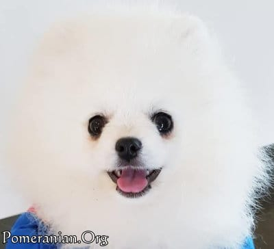 Pomeranian with no Tear Stains after dog tear stain remover that works