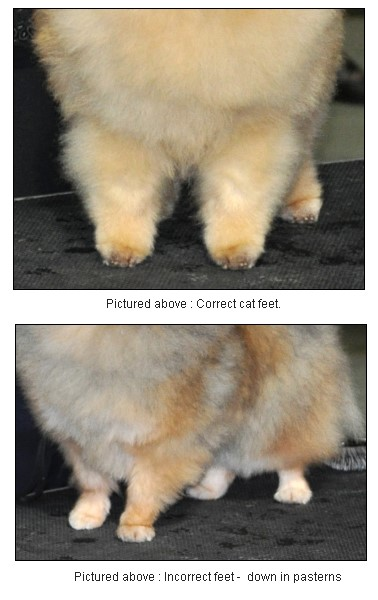 The Pomeranian's feet