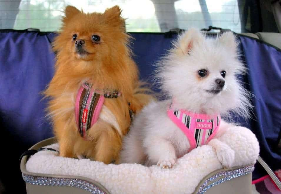 pomeranians in care seat