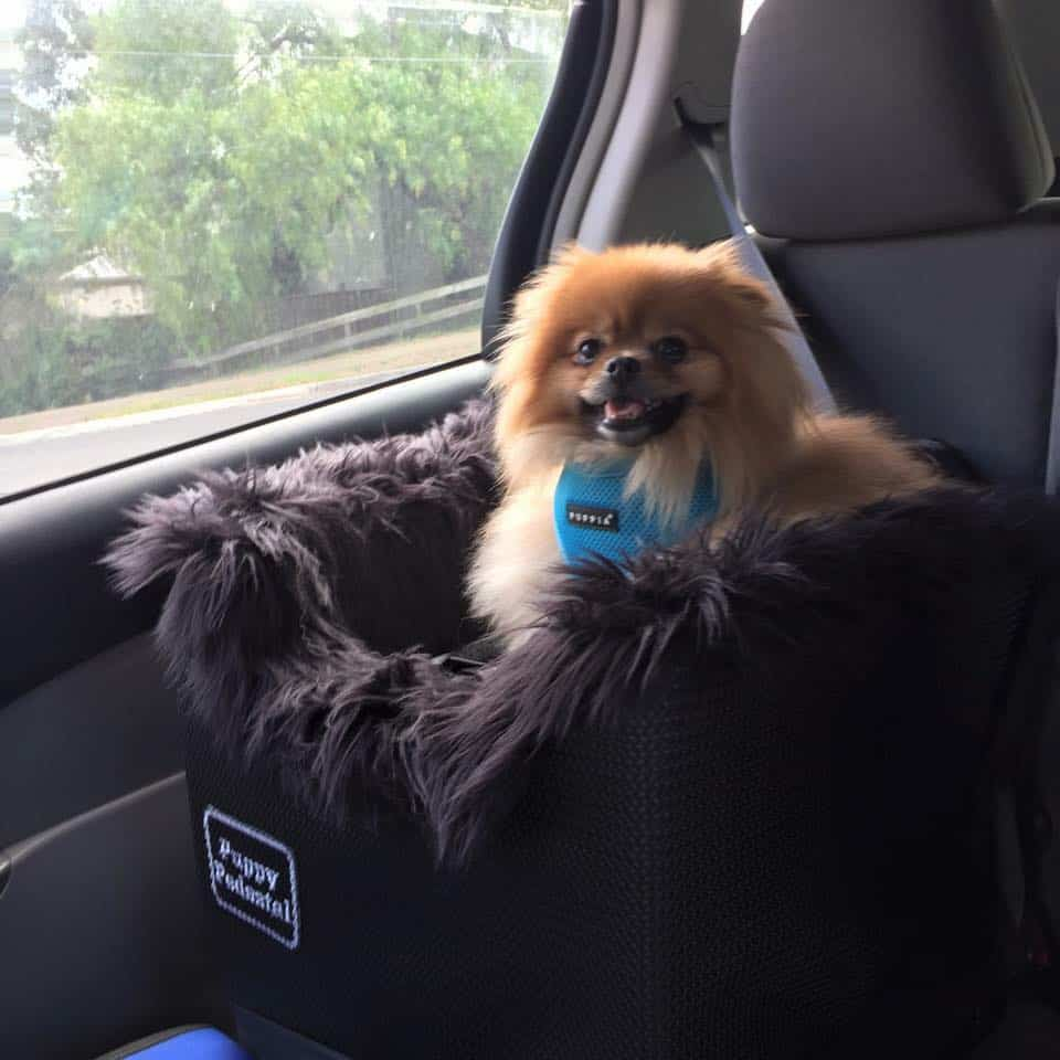Pomeranian in car seat