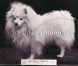 champion pomeranian belper snow