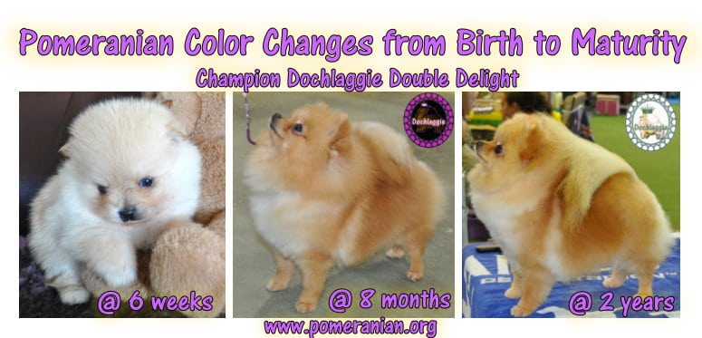 Pomeranian Color Changes from Birth to Maturity