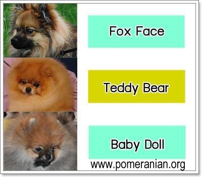 Types of Pomeranian Heads or Faces