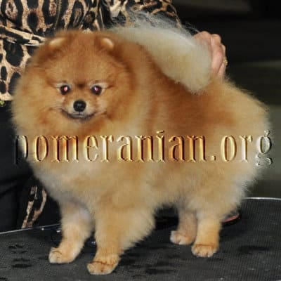 Chiari Malformation (CM) and Syringomyelia (SM) in Pomeranians