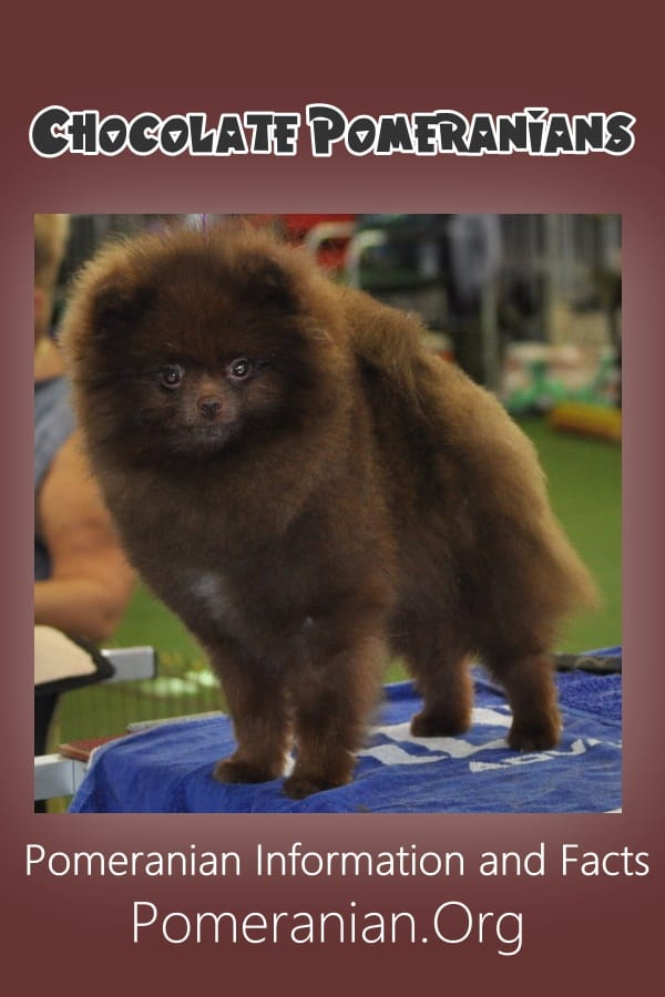 Chocolate Pomeranian or Brown Pomeranian