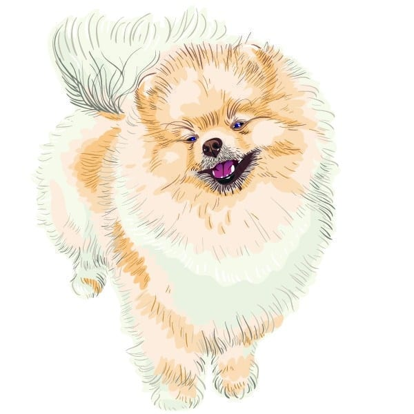 Prince Of Poms. Pomeranian Breeder Pennsylvania