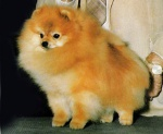 Champion Great Elms Prince Charming II . Winner of Westminster Best in Show. 1988.